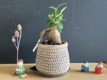 【らいぶらりー・すうぃーつ講座】幸せの木 ガジュマルの小さな鉢植えを作ろう