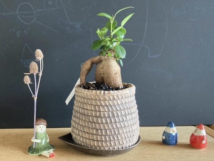 カジュマルの鉢植えの写真